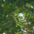 ウスタビガ の繭が風に揺れる