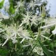仙人草の花