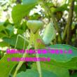 ハラビロマキリの幼虫