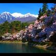 中央アルプス県立千人塚公園の桜