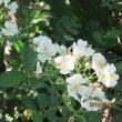 2018.5.4(金) イバラの花咲く