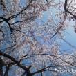 瑠璃寺の重ね彼岸しだれ桜♪