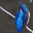 柏尾川次郎探鳥記(カワセミ・背のコバルトブルーが鮮やかです)