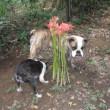 彼岸花が咲きました。   2017/9/19