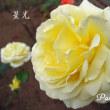 薔薇の園  * 2017 *  Vol.100 * 星光~せいこう *