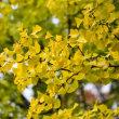 22/Oct イチョウの黄葉とヒネム、シオンとジンジャー