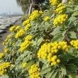 季節の花「磯菊(いそぎく)」