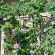 庭植のツルバラ~ブルームーン