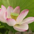 遅咲きのハス