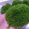 水草 リシア