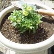 カリブラコア、植え付けから2カ月 経過