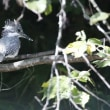 今日の鳥 ヤマセミ 最初は暗い所 、次は木の中 最後は明るいところ