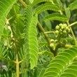 ネムノキの枝に蕾がいっぱい