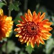 ダリア風なキクの花