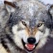 我が家はみんな狼
