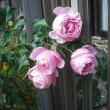 ここにも咲いてました。バラのハンスゲーネバイン