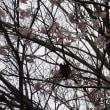 カワズサクラが佐倉城址公園で満開になりました