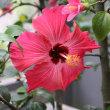 【解答編】アオイ科の植物の名前、わかりますか?