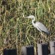 谷津干潟淡水池の野鳥