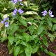 バラ シャルロット、アブラハムダービーの二番花、他