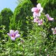 数少ない自宅の花 デュランタ、ムクゲ、ルリマツリなど