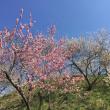 東京・木下沢梅林    16.03.17