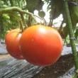 トマトが楽しみになってきました。