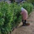 エンドウの収穫