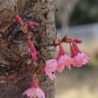 ・ 宮沢遊水地 おかめ桜が見頃です 2018