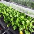 小カブ「サラダマル」の収穫