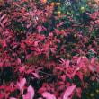 ブルーベリーの紅葉と金柑