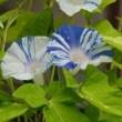 庭のお花達 タカサゴユリ他