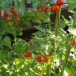 収穫間近のミニトマト