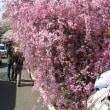 昨日の桜☆