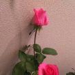 多肉ハートリース、美しい希少品種 薔薇大輪四季咲「ディムカズコ」