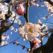 3月今日の梅…♪