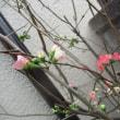 沈丁花・コブシ・木瓜