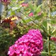 ブットレアの花とチョウたち