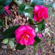 1月13日の花