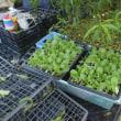 白菜の定植をしました