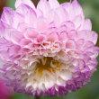 ダリアの花(Ⅰ)