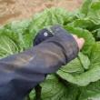 一日で24個の白菜を収穫しました