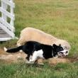 牧羊犬ジャフ、12歳で引退