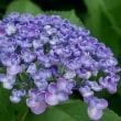 レトロ周辺の紫陽花♪