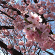 桜もう咲いてる〜(^-^)