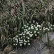 福島の秋、塩屋岬のハマギク