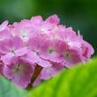 万博公園の紫陽花part-3