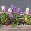 ピンクのゼラニウムと道の駅のプランターの花々