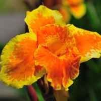 日南でよく見かける黄色とオレンジの混ざったカンナの花 (Photo No.14372)