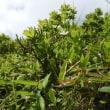 高ボッチ高原・鉢伏山で最近咲いている花 シロバナニガナ(白花苦菜)